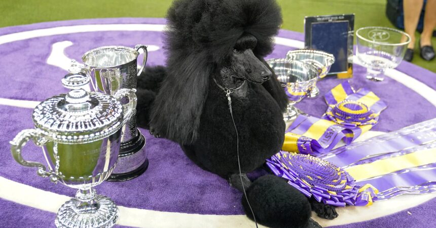 #VOA: Good Dogs! 20 Years of Covering Westminster Kennel Club Show. #VOANews